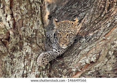 Portrait of a leopard (Panthera pardus) resting on a tree in Serengeti National Park, Tanzania - stock photo