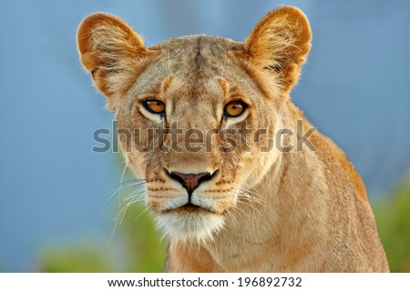 Portrait of a Lion in Samburu National Reserve, Kenya - stock photo