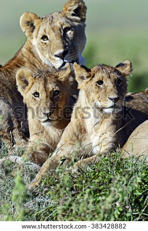 Portrait of a lion in the Masai Mara park - stock photo
