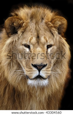 portrait of a lion on a black background