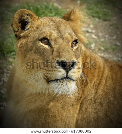 Portrait of a lioness with beautiful eyes in safari park