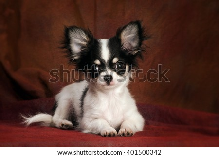 portrait of a little black & white chihuahua puppy simply lying on a reddish brown backdrop, looking straight at the camera - stock photo