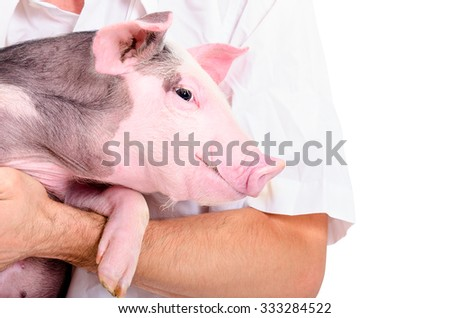 Portrait of a little pig on hands at the vet isolated on white background - stock photo