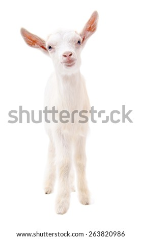 Portrait of a little white goat in full length isolated on white background - stock photo