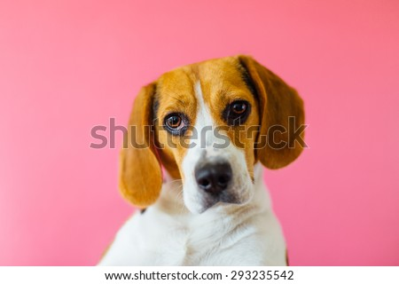 portrait of a lonely serious beautiful adorable and cute beagle puppy dog on a pink cool backround - stock photo