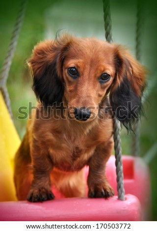 Portrait of a long-haired Dachshund rabbit - stock photo