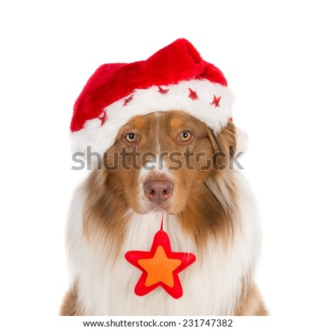 Portrait of a looking Australian Shepherd wearing a Santa hat and a Christmas star, isolated on white. (1x1, square) - stock photo