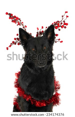 Portrait of a looking black German Shepherd with Christmas decorations, isolated on white - stock photo