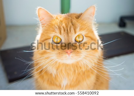 Portrait of a looking ginger cat
