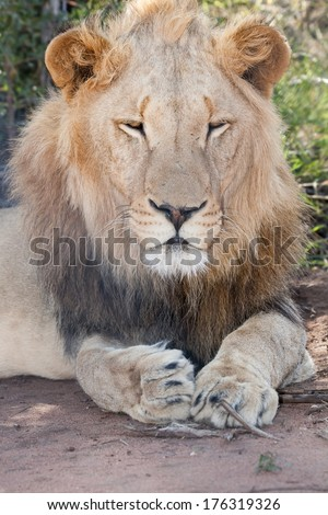 portrait of a lying male lion in the shade of a bush with closed eyes, South Africa