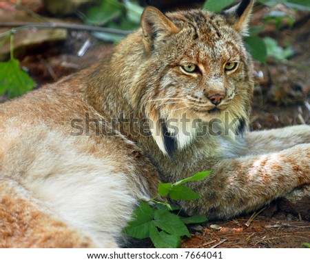 Portrait of a Lynx. - stock photo
