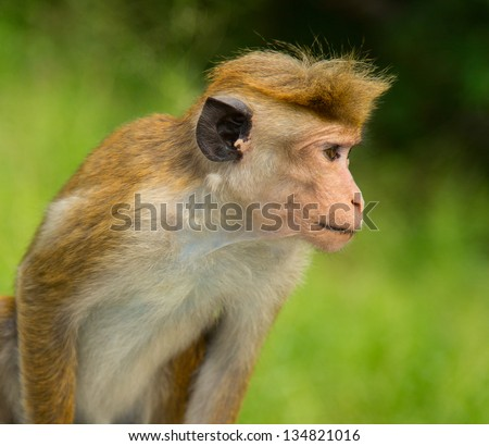 Portrait of a Macaque monkey on a green background
