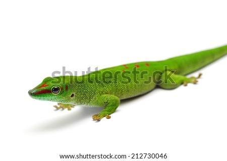 portrait of a Madagascar day gecko - stock photo