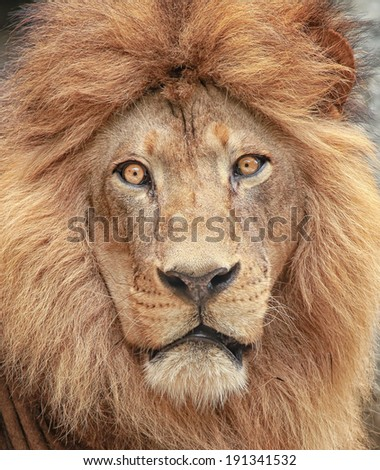 Portrait of a majestic lion