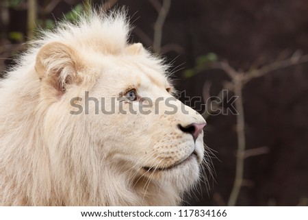 Portrait of a male African white lion - stock photo