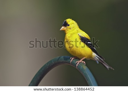 Portrait of a male American Goldfinch (Carduelis tristis).