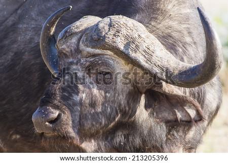 portrait of a male buffalo in the dry savanna of Savuti National Park, Botswana, Africa - stock photo