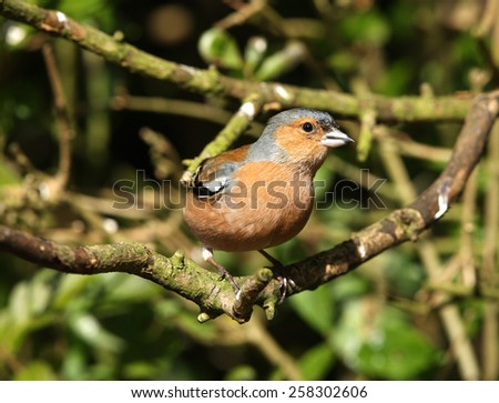 Portrait of a male Chaffinch - stock photo