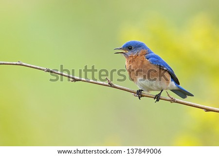 Portrait of a male Eastern Bluebird (Sialia sialis) - stock photo