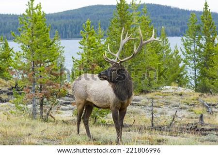 Portrait of a male elk with large antlers on a background of lake.  Yellowstone National Park - stock photo