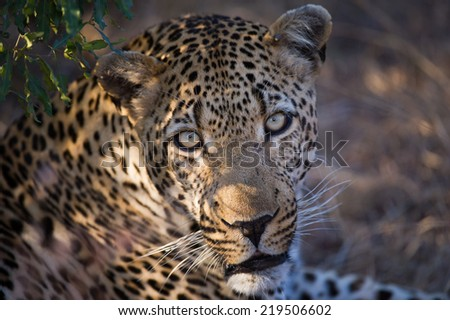 Portrait of a male Leopard resting in dappled shade, looking curiously towards my camera as I trigger the shutter. - stock photo