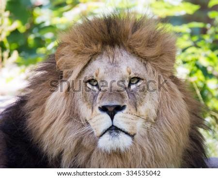Portrait of a male lion - stock photo
