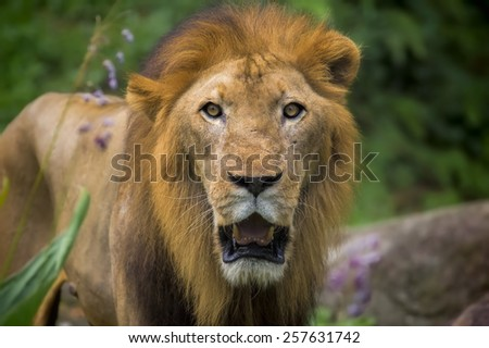 Portrait of a male Lion in Africa - stock photo