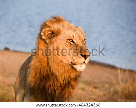 Portrait of a male lion in the afternoon sunlight close to a watering hole