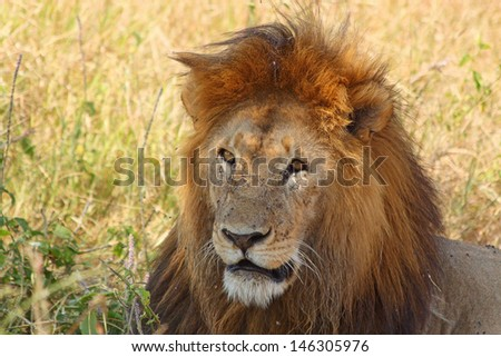 Portrait of a male lion (Panthera Leo) - stock photo