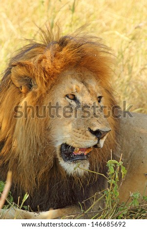 Portrait of a male lion (Panthera Leo) from side - stock photo