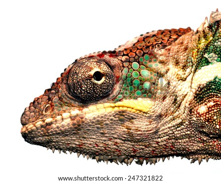 portrait of a male panther chameleon (furcifer pardalis) from africa - stock photo