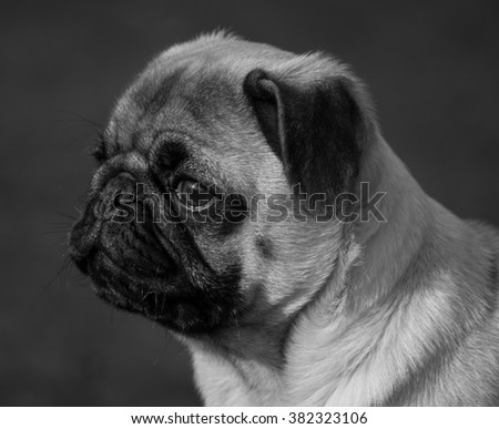 Portrait of a male Pug puppy, in the outdoors, Liverpool, UK