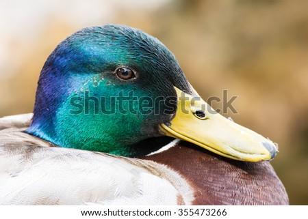 Portrait of a mallard (Anas platyrhynchos) - stock photo