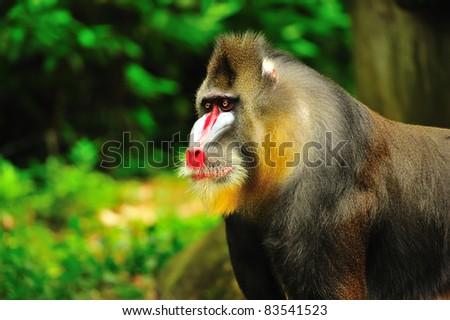 Portrait of a mandrill - stock photo