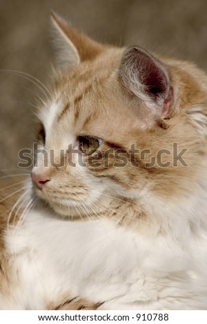 Portrait of a Manx cat. Head only. - stock photo