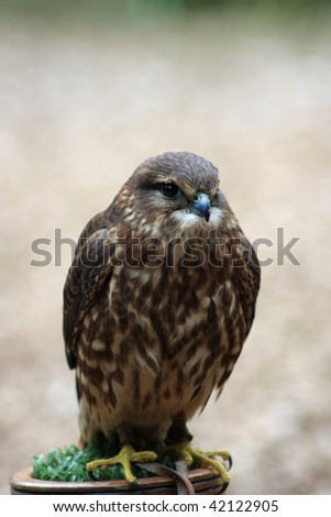 Portrait of a Merlin (Falco columbarius)resting on its perch.