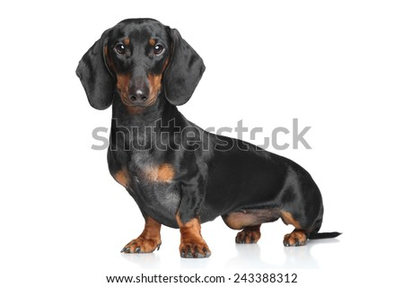 Portrait of a Miniature Dachshund on white background - stock photo