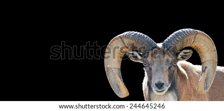 portrait of a mountain goat ram isolated on black with room for text
