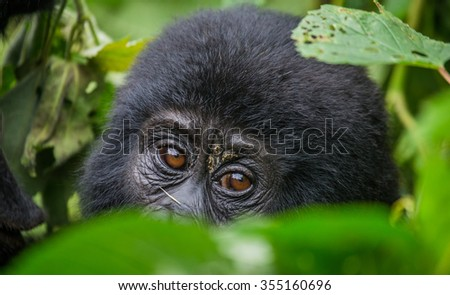 Portrait of a mountain gorilla. Uganda. Bwindi Impenetrable Forest National Park. An excellent illustration. - stock photo