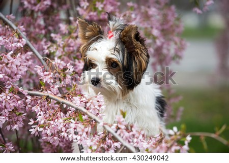 Portrait of a nice Biewer Yorkshire terrier puppy - stock photo
