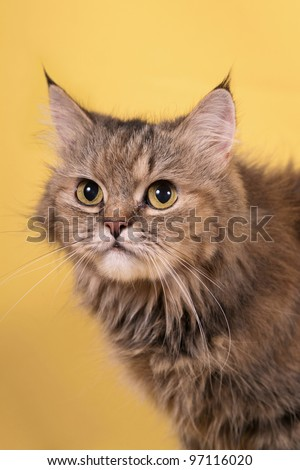 Portrait of a nice cat on yellow background