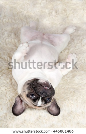 Portrait of a nice French Bulldog lying on his back - stock photo