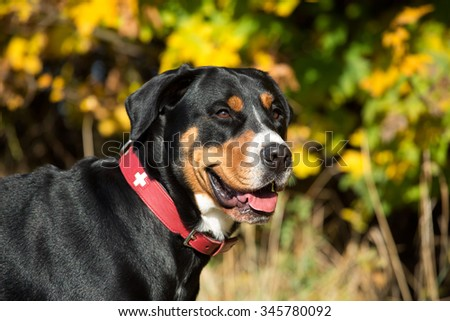 Portrait of a nice Greater Swiss Mountain Dog in autumn - stock photo
