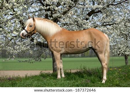 Portrait of a nice haflinger pony  - stock photo