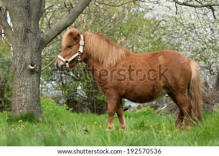 Portrait of a nice shetland pony, pregnant mare - stock photo