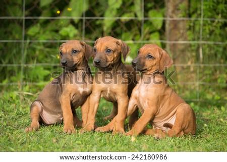 Portrait of a nice three rhodesian ridgeback puppies - stock photo