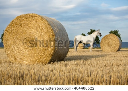 Portrait of a nice white horse in the field  - stock photo