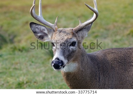 Portrait of a nice youg whitetail buck