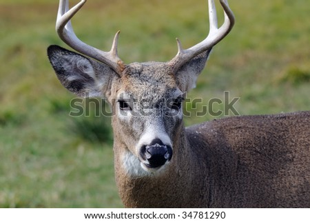 Portrait of a nice young whitetail buck