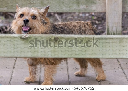 Portrait of a Norwich Terrier dog in a isolated park setting. Dog in park.